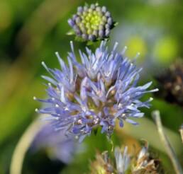 Blåmunke blomst. Foto Søren Vinding