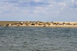 Sæler på Langejord. Foto Søren Vinding. Ofte kan man se rigtig mange sæler der. Klik på linket på denne side, for at finde ud af hvordan.