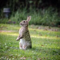 Vild kanin. Foto Tim Jabelmann.